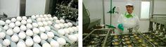 Laitilan Proegg kananmunajalosteet syntyy tarkan valvonnan alaisuudessa. Ensin kananmunat rikotaan rikkomiskoneessa.