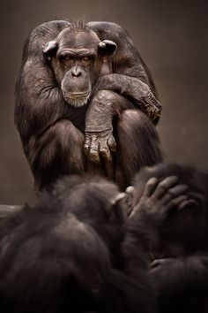 Awesome art photo about chimps are.  (This guy looks as if he feels left out the grooming session.)