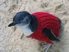 A little penguin affected by an oil spill is dressed in a red woolly jumper to keep it warm and stop it preening and swallowing the oil, whi...