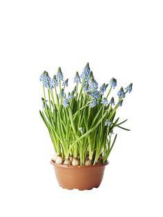 Perleblomst Diameter 17 cm Blå | Plantasjen Pop Up, Garden, Plants, Lawn And Garden, Gardens, Plant, Outdoor, Home Landscaping, Tuin
