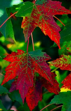 Red and green leaves. Green Leaves, Autumn Leaves, Plant Leaves, Dame Nature, Fall Wallpaper, Complimentary Colors, Fall Pictures, Leaf Art, Henri Matisse