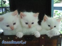 I love cats and the ragdoll cats are my absolute favourite Ich liebe Katzen und die Ragdoll-Katzen sind mein absoluter Favorit Cute Kittens, Little Kittens, Cats And Kittens, Ragdoll Cats, Most Popular Cat Breeds, Animals And Pets, Cute Animals, Here Kitty Kitty, Domestic Cat