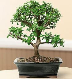 "This succulent bonsai, also known as the ""Elephant Bush"", is native to South Africa and has pale green leaves that are almost round and about one-third the size of the common jade plant. The fleshy trunk, branches, and leaves are used to store water. An excellent bonsai tree for the home or office. 12"" tall. $70"
