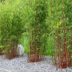 ASIAN WONDER - Clumping Umbrella Bamboo Plants - would make a lovely contrast between green/yellow bamboo