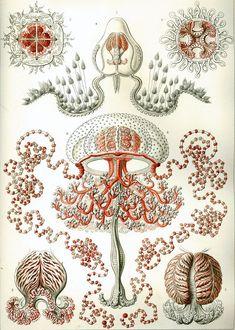 Haeckel Anthomedusae - Kunstformen der Natur - Wikipedia, the free encyclopedia