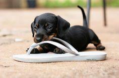 doxie puppy!
