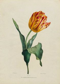 Antique Botanical Print, Tulip Print, Red and Yellow Tulip Giclee, Vintage Home Decor, Natural Histo Illustration Botanique, Illustration Blume, Vintage Botanical Prints, Botanical Drawings, Botanical Flowers, Botanical Art, Art Floral, Sibylla Merian, Tulip Painting