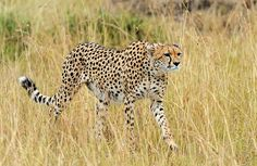 SA Campsites camp directory, Where to Camp in South Africa kruger National Park Kruger National Park, National Parks, Tanzania, Kenya, African Animals, Campsite, Savannah Chat, Mammals, Cheetah