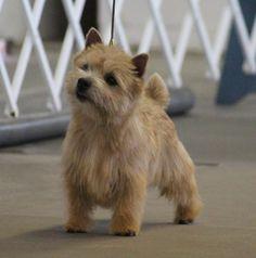 Cairn Terriers, Terrier Breeds, Norfolk Terrier Puppies, Dog Ramp, Norwich Terrier, Cutest Dogs, Dog Rules, White Terrier, Cartoon Dog
