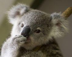 koala bear...wanna squish the ears