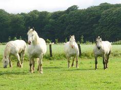 Boulonnais Horse | Description Chevaux boulonnais.JPG
