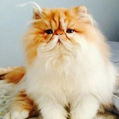 Augie the bicolored persian