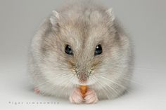 hamster nibbling on a snack ... by Igor Siwanowicz