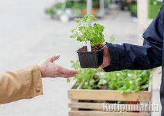 Kotipuutarha VERSOOo 2016 Parsley, Herbs, Herb, Medicinal Plants