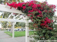 Bougainvillea is a very vigorous grower and is most commonly thought of as a large scale vine but there are other forms it is grown in and sold as. Backyard Plan, Backyard Pergola, Pergola Kits, Pergola Ideas, Bougainvillea Trellis, Metal Trellis, Vine Trellis, Climbing Flowers, Black Pergola