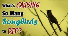 What's Silencing The Songbirds?