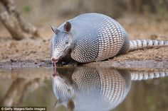 Texas man shot after bullet he fired at armadillo ricocheted off animal's shell Texas Man, Men's Shooting, Rare Animals, Armadillo, Animals Beautiful, Bullet, Shells, Clip Art, Fire
