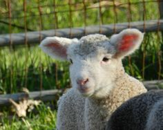 Jim, one of our new lambs here at Solitude Wool! Spring Lambs, Solitude, Sheep, Wool, Animals, Animales, Animaux, Animal, Animais