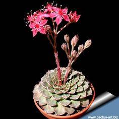 sementes de suculenta tacitus bellus echeveria flor p/ muda