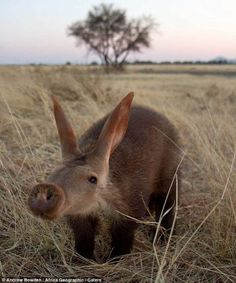 Aardvark - a medium-sized, burrowing, nocturnal mammal native to Africa