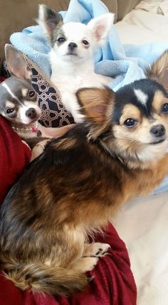 My girls! LOVE them soooo much! Kiki, Koko and Baby! #chihuahua #precious #love #blessed