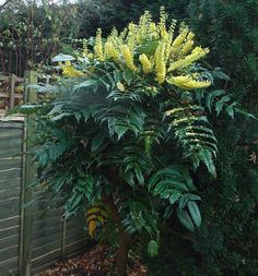 x media 'Charity' (twice!)Mahonia x media 'Charity' (twice!) Tropical garden with fish in pond and various plants. Garden Shrubs, Landscaping Plants, Garden Plants, Side Garden, Garden Art, Garden Design, Evergreen Shrubs, Trees And Shrubs, Outdoor Garden Furniture