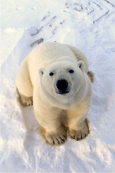 "[What happens to a Polar Bear when he sits on the ice too long? He gets polar-roids.] ** BEAR: "" NOTZ FUNNY HUMAN."""