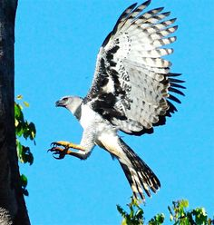 "Harpy Eagle (Harpia harpyja) in Flight by Rebecca Houseman  Via Flickr:  I had to fortune of spending some time observing a harpy eagle nest in Brazil. After about two hours, the adult male came to the nest and dropped off some ""fresh"" amazonian opossum. This photo was captured when the adult jumped from the nest to an upper limb. The Harpy Eagle is the second largest raptor (the largest being the Phillipine Monkey-eating eagle. It is probably one of the most powerful raptors on earth, able…"