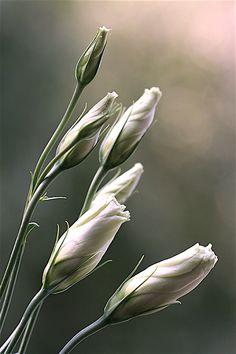 """Elinka"" by Kasia Mycatherina Pietraszko-- Lisianthus Buds White Flowers, Beautiful Flowers, Beautiful Life, Foto Nature, Photo D Art, Types Of Flowers, Belle Photo, Shades Of Green, Flower Art"