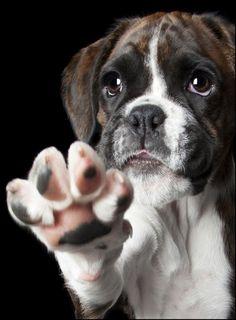Dogs   Super adorable Boxer