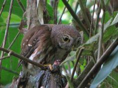 Caburé-miudinho / East Brazilian Pygmy Owl