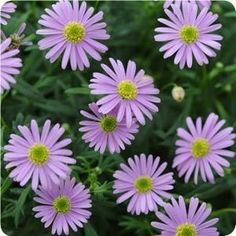Swan river daisy. I plant these in containers every year. Always dependable.