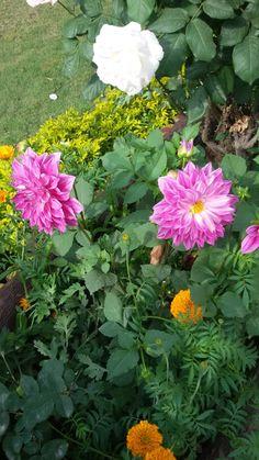 Couple Diakia in my garden.