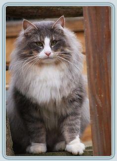 Amadeus - Norwegian Forest Cat (Nandinakatts)