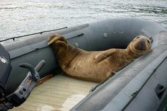Giant seal traps newlyweds on remote island for FOUR days by moving onto their boat...