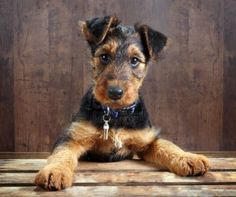 8 weeks old little airedale terrier puppy dog