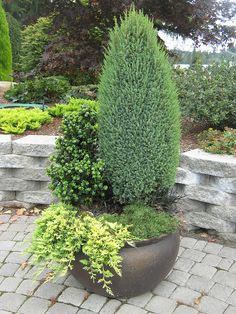 Dwarf Evergreens in Containers (3)