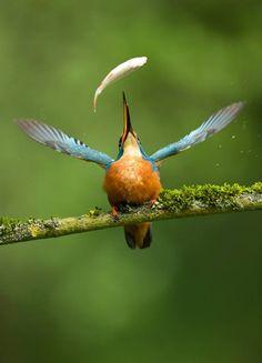 The Very Best of Bird Photography Wildlife Photography, Animal Photography, Photography Awards, Beautiful Birds, Animals Beautiful, Common Kingfisher, Photo Animaliere, Tier Fotos, Bird Pictures