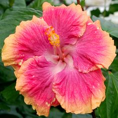 Tropical Hibiscus 'Blush of Youth'