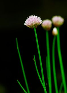 Chives. Allium schoenoprasum in my South Florida garden.