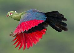Knysna Turaco (Tauraco corythaix), or, in South Africa, Knysna Lourie in flight by Chris van Rooyen. It is a resident breeder in the mature evergreen forests of southern and eastern South Africa, and Swaziland. Rare Birds, Exotic Birds, Colorful Birds, Beautiful Creatures, Animals Beautiful, South African Birds, Most Beautiful Birds, Tier Fotos, Bird Watching