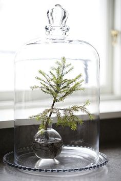 an evergreen branch in glass vase under glass bell