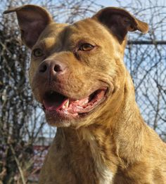 """URGENT BEEN HERE SINCE 2014!!~~~~14-28 """"Annie"""" is an adoptable Pit Bull Terrier searching for a forever family near West Babylon, NY. Use Petfinder to find adoptable pets in your area."""