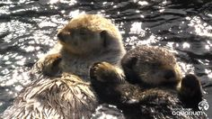 Milo, one of the hand-holding sea otters at the Vancouver Aquarium, was diagnosed with lymphoma in August 2011. He's undergoing chemotherapy treatments. This...