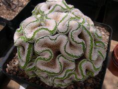 Succulent Plant Information: Turbinicarpus valdezianus fa. cristata