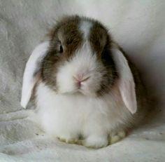 White Eared Agouti Mini lop