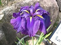 "The term ""Japanese iris"" encompasses three species of Irises cultivated in gardens or growing wild in Japan: hanashōbu (Iris ensata), kakitsubata (Iris laevigata) and ayame (Iris sanguinea). Of these three species, I. ensata is the one most commonly referred to as ""Japanese iris"" outside of Japan. ris ensata (including Iris kaempferi) - The bluish purple color of the flowers of the Japanese garden iris is an example of the copigmentation phenomenon.[1]"