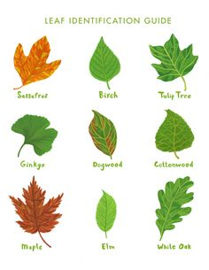 Rookie » Saturday Printable: Leaf Identification Guide