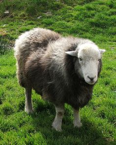 Herdwick Sheep.  Herdwick sheep are the native breed of the central and western Lake District and live on the highest of England's mountains