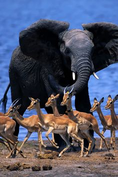 Elephant & Antelope   - Explore the World with Travel Nerd Nici, one Country at a Time. http://TravelNerdNici.com
